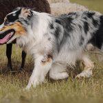 My Australian Shepherd Is Out Of Control