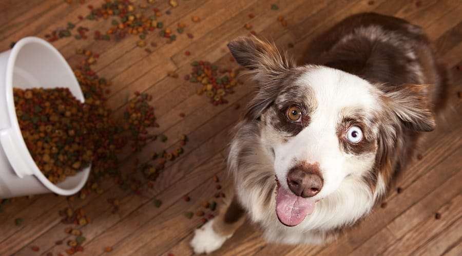 recommended dog food for aussies