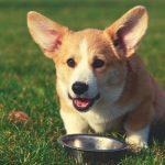 Best Dog For Corgis