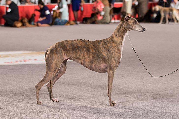 best dog food for greyhound breed