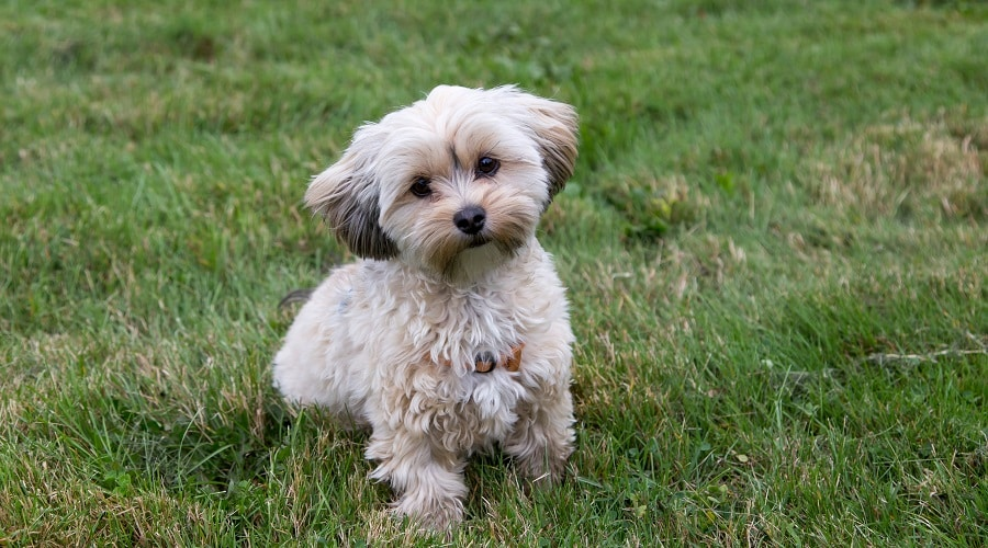 best dog food for morkies
