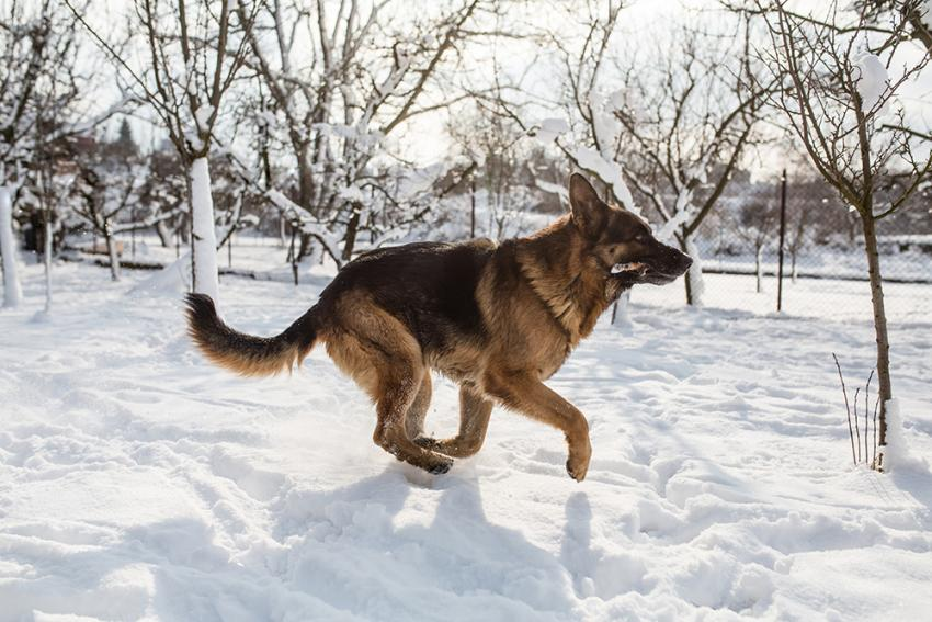 how cold is too cold for german shepherds