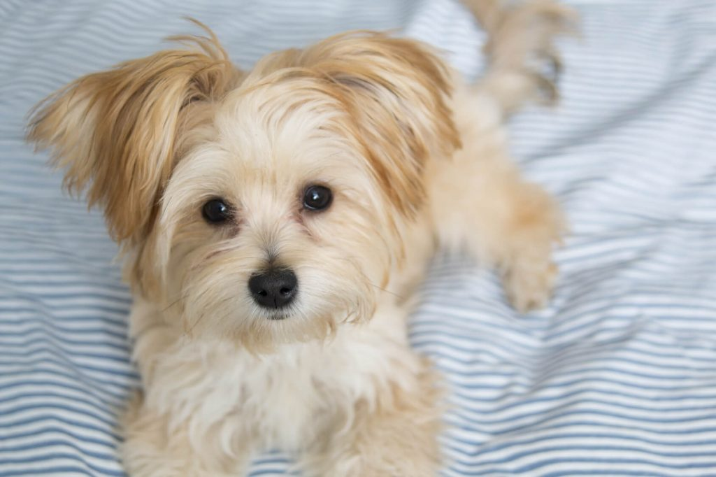 morkie breed guide