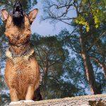 German Shepherd Howling